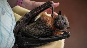 appeal to home owners over flying foxes illawarra mercury