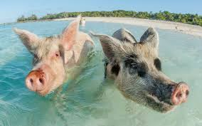 widely adored swimming pigs found dead in the bahamas travel