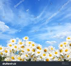 field daisies stock photo 71795131 shutterstock