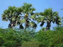 file palm tree jpg wikimedia commons