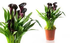 black calla black calla plant groupon goods