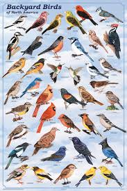 Backyard Birds Store by Backyard Birds Poster Birds Pictures Posters Prints Decor
