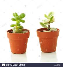 Small Flower Pot by Succulent Plants In Small Pots White Background Stock Photo
