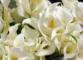 cala lillies growing and care of calla indoors