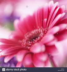 gerbera plant pink gerbera flower plant nature stock photo royalty free