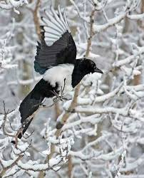 Magpie Birds In Backyards 31 Best Magpie Mania Images On Pinterest Magpie Beautiful Birds