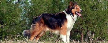 australian shepherd english shepherd mix old time scotch collie frequently asked questions