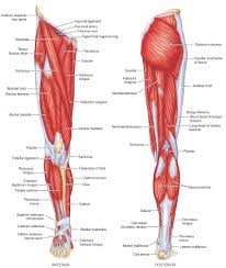Foot Tendons Anatomy Right Foot Bones And Muscles Human Anatomy Charts