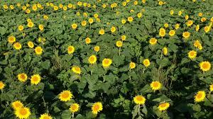 grinter sunflower farms lawrence ks youtube