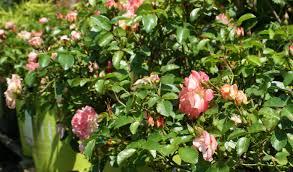 drift roses drift easy care groundcover