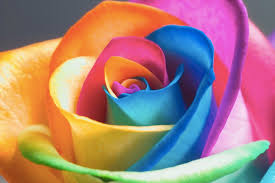 Different Color Roses Rainbow Roses Most Colourful Flowers In The World Cat In Water