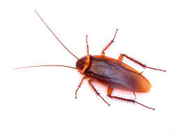 light brown roach looking bug best ways to get rid of cockroaches