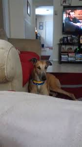 greyhounds as pets jacksonville fl home