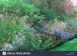ornamental grasses border miscanthus sinensis aster sedum