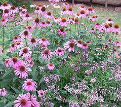 plant combination purple coneflower echinacea purpurea magnus