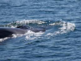 Whale Watches Cape Cod - fin whale on cape cod picture of dolphin fleet whale watch