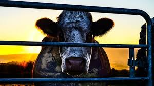 how to watch cowspiracy movie quora