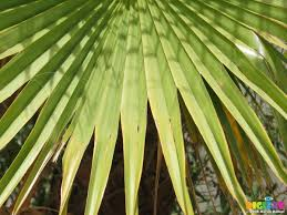 picture 27899 palm tree leaves 20080823 bentancuria photo by