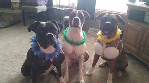 Pitbull Dog Halloween Costumes 12 Costumes Prove Boxer Dogs Win Halloween