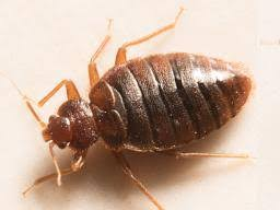 How Long Can Bed Bugs Live Without Air How To Get Rid Of Bed Bugs