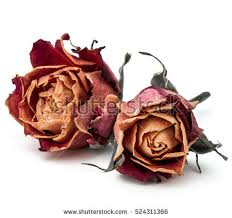 dried roses dried stock images royalty free images vectors