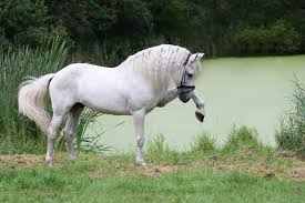 am andalusian horse wallpapers 48 beautiful andalusian horse
