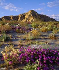 mix of wildflowers in anza borrego desert state park san diego