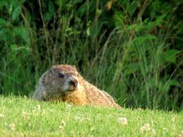 remembering a groundhog woodchuck invader in our garden nature