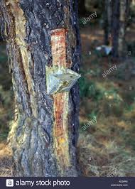tapping tree resin from a pine tree in the of retsina on