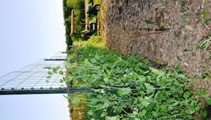 How To Make Trellis For Peas Grow Sugar Snap Peas
