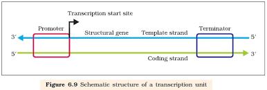 ncert class xii biology chapter 6 molecular basis of inheritance