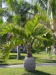 8 best tree images on tropical gardens landscaping