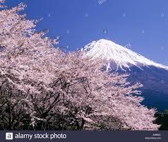 mt fuji cherry blossoms fujinomiya shi shizuoka prefecture japan