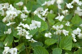 tennessee smart yards native plants how to get rid of wild violets in the lawn