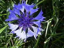 corn flower blue cornflower blue