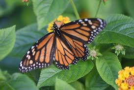 columbia wants to become sanctuary for migratory monarch