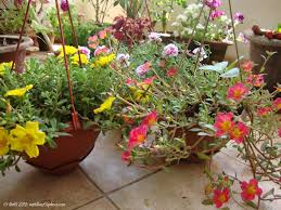 my balcony garden emg sun rose sun plant table rose