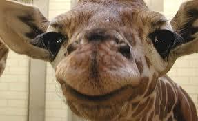 Meme Giraffe - facebook giraffe update anonymous behind meme and planning attack