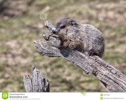 young groundhog in tree royalty free stock photography image
