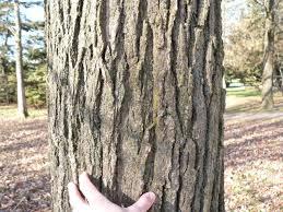 White Oak Bark Bur Oak