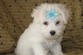 bichon frise puppy 8 weeks bichon frise puppies for sale in shippensburg pennsylvania http