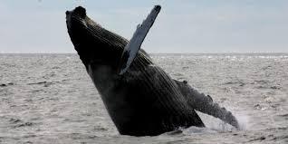 Whale Watches Cape Cod - cape cod u0026 whale watching
