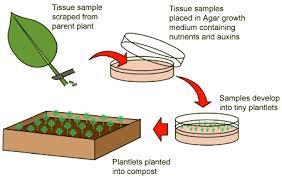 bbc gcse bitesize cloning plants higher tier