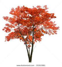 autumn maple tree isolated on stock photo 213513961