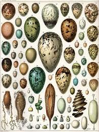 november birth animal egg wikipedia