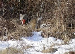 New Jersey wildlife images New jersey wildlife bobcat n j 39 s only wild cat jpg
