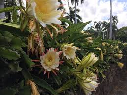 blooming cereus my blooming cereus last it only blooms once a year