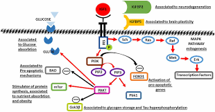 Ying Long Bad Neustadt Frontiers Insulin Like Growth Factor 1 At The Crossroads Of