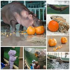 happy halloween zoo animals crush eat and play with pumpkins