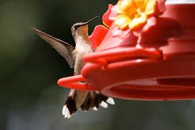here u0027s the blueprint for hummingbird habitat startribune com